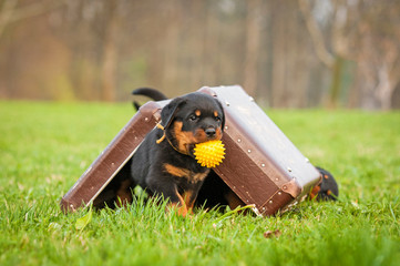 Fototapete - Rottweiler puppy playing with a suitcase