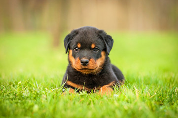 Wall Mural - Rottweiler puppy lying on the lawn