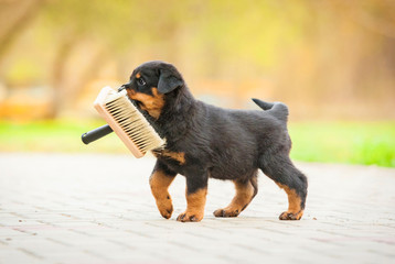 Fototapete - Rottweiler puppy playing with paint brush
