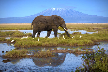 Elephant at the pool on the background of Kilimanjaro