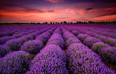 Poster Violet Stunning landscape with lavender field at sunset