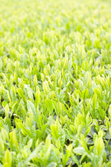 New leaf of green tea
