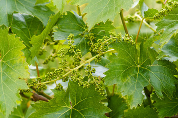 Young grape clusters in spring Fototapete