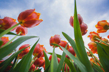 blossoming tulips with blue sky as background