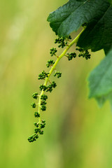 Fototapete - Young grape cluster in spring
