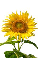 sunflowers close up isolated on white background