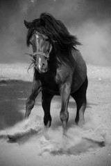 Galloping black horse