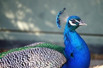 Peacock portrait closeup
