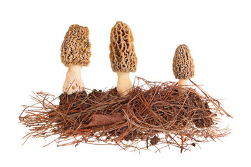 Fototapeta Yellow morel mushrooms and pine needle substrate isolated on whi obraz