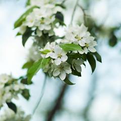 White Apple blossom close-up