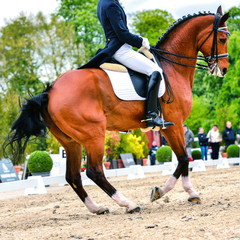 dressage horse and rider - pirouette at walk