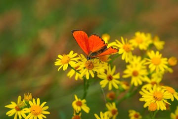 Scarce Copper (Lycaena virgaureae) butterfly on yellow flowers