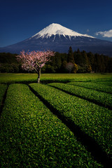 Wall Mural - Fuji with Plum Blossom and Green Tea