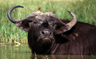 African Buffalo and Oxpicker