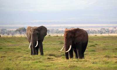 Male elephants in Kenya