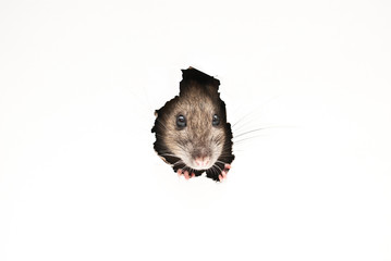 Ratto Wall mural