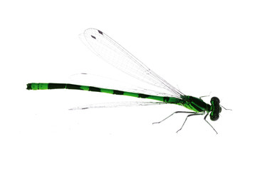 isolated small green and black dragonfly