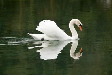 swimming male mute swan 7882