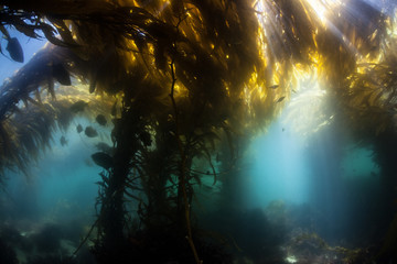 Wall Mural - Kelp Forest 5