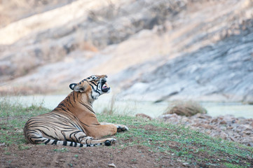 Bengal tiger lying in the grass near the river - india
