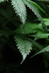 Cannabis Sativa L 07