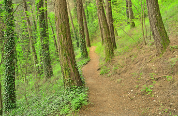 forest path  for walking and jogging - tree trunks - green