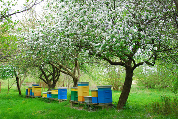 colorful beehives in spring orchard