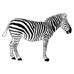 Zebra, vector format