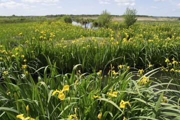 Iris pseudacorus, iris des marais, iris jaune, Iris faux acore dans le Marais-Vernier. Département de l'Eure, 27;