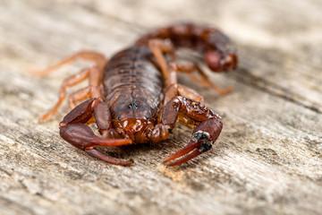 Close up macro image of devil scorpion (Vaejovis carolinianus)