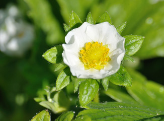 fragile white flower of strawberry