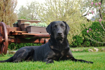black labrador retriever on grass
