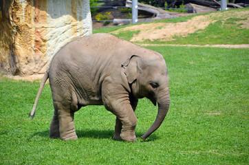 little elephant walking photo