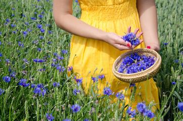 farm woman in yellow dress hands pick cornflower
