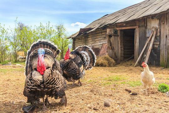 Pompous blown turkeys on chicken coop