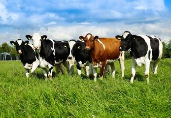 Fototapete - Junge Rinderherde auf der Sommerweide