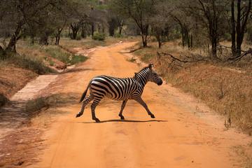 Aluminium Prints Zebra Zebra passes through the road in Kenya