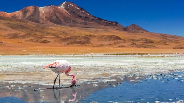 Flamingo in a lake