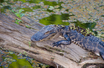 Baby Florida Alligator Sunning on Log in Swamp