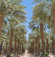 Plantation of date's palms near Eilat, Israel