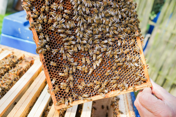 Imker zeigt Honigwaben mit Bienen darauf