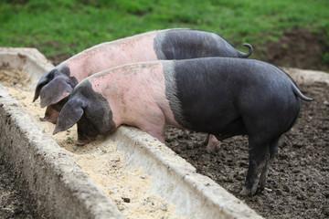 Schweine am Trog