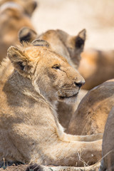 Lion pride rests in Serengeti