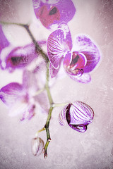 Phalaenopsis grunge