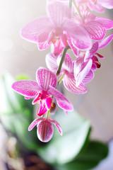 Rametto di Phalaenopsis