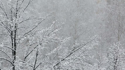 Wall Mural - heavy snowfall on the background of snowy trees