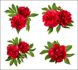 Red peonies on a white background.