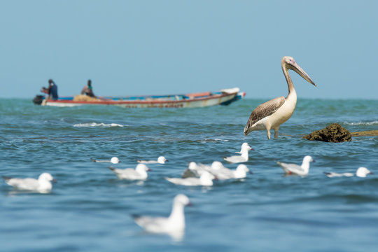 A Great White Pelican (Pelecanus onocrotalus) standing in the oc