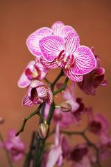 Phalaenopsis #3