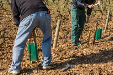 travaux de repiquage des vignes